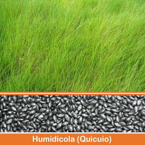 Capim-Braquiaria-humidicola-Quicuio.jpg